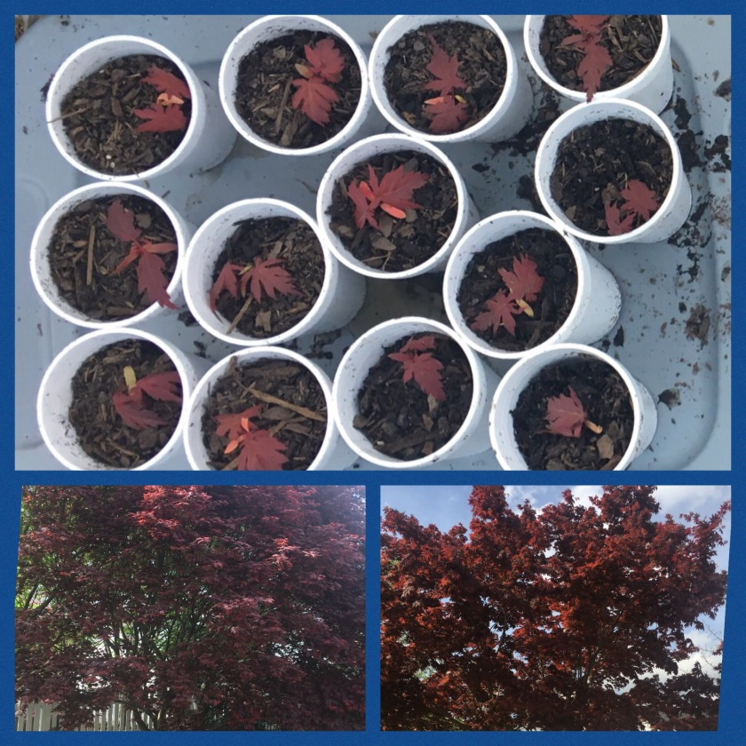 Japanese Maple seedlings